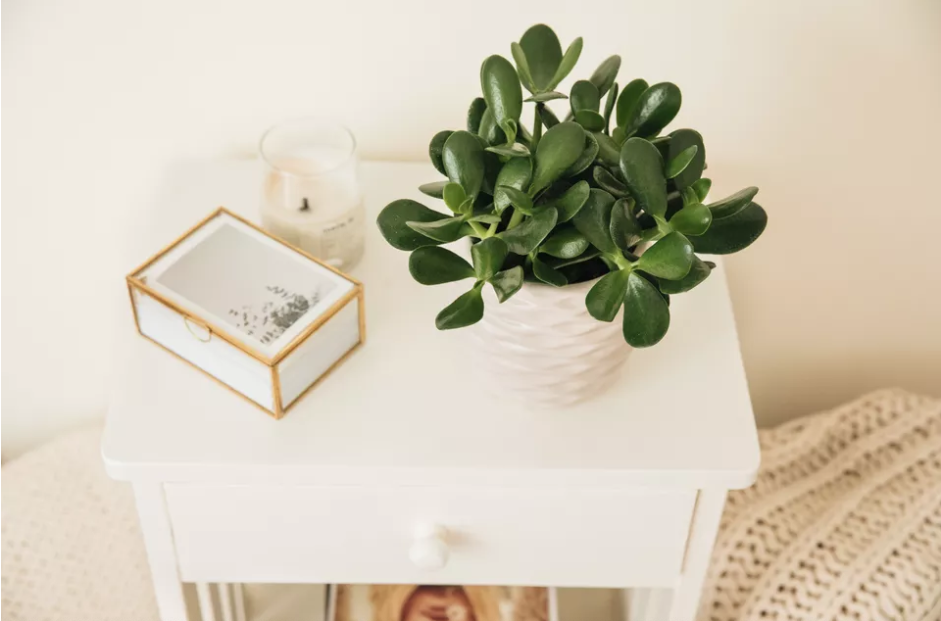 Jade plant for air filtering - Kitchener home renovation